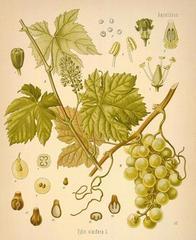v.vinifera.jpg